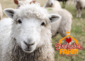 Sheep Shearing event